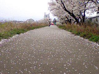 桜花びらの道